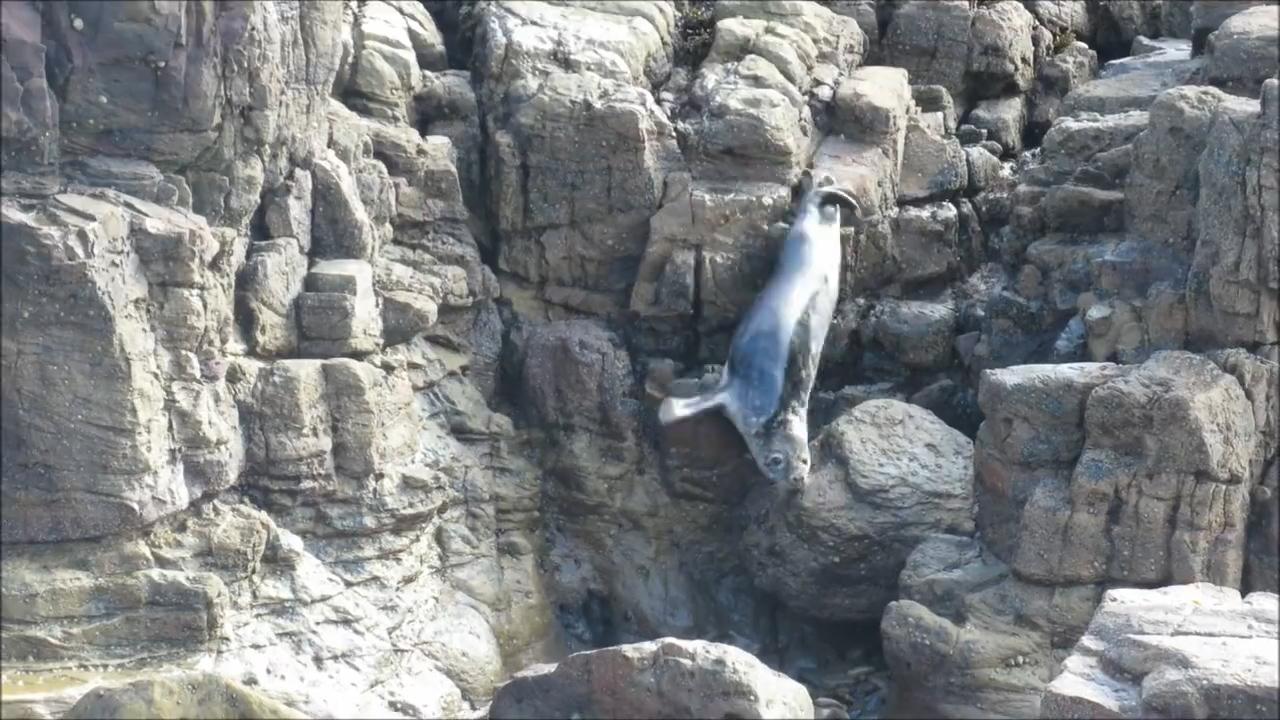 관광객 피해 절벽 아래로 몸 던지는 바다표범. St. Mary's Seal Watch.