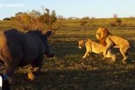 사자 짝짓기 방해하는 짓궂은 코뿔소