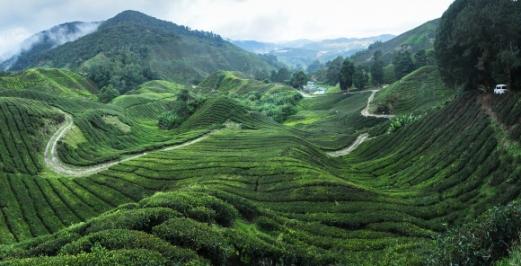 캐머런 하이랜드 고원 지대에 펼쳐진 차밭. 식민지 시대 '영국인의 땀을 식히기 위한 피난처'에서 이제 말레이시아의 새 관광자원으로 떠오르고 있다.