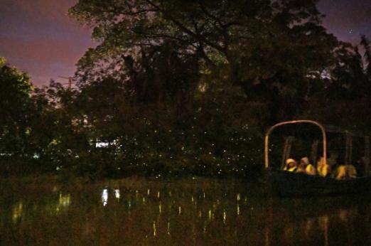 셀랑고르 강변에서 펼쳐진 반딧불이 '조명쇼'. 나무 전체가 반딧불이 불빛으로 반짝이고 있다.