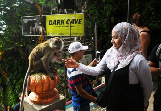 바투 동굴 입구에서 사람이 주는 먹이를 받아먹으며 살아가는 게잡이원숭이.