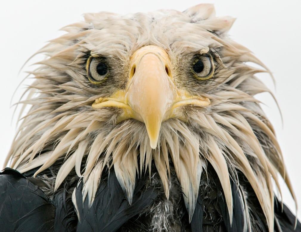 흰머리 독수리 (Bold eagle)