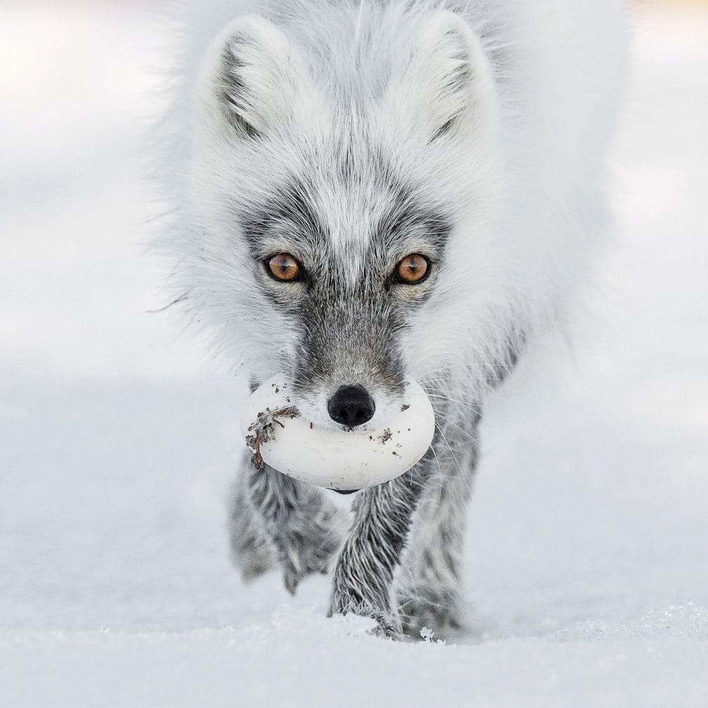 북극 보물 (Arctic treasure)