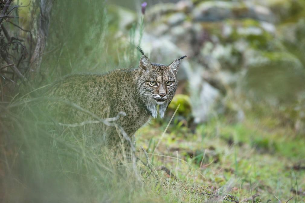 스라소니의 일별 (Glimpse of a lynx)
