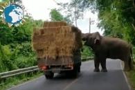 '너무 배가 고파요!' 건초 더미 실은 트럭 터는 코끼리