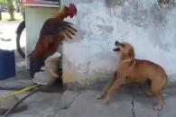 [반전영상] 개와 싸운 수탉, 과연 승자는?
