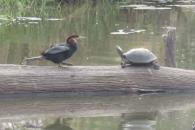 야생의 교통체증…외나무다리서 만난 새와 거북