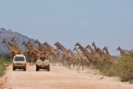 30마리 기린 떼 도로 가로지르는 순간 포착