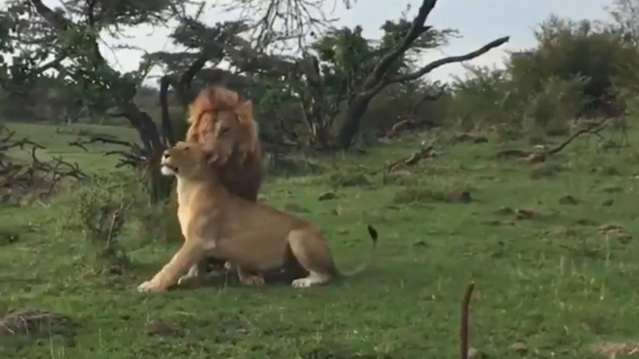 유튜브 영상 캡처. Maasai mara Sightings.