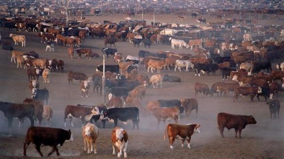 환경단체 등에서 육식이 지구온난화의 원인이라고 주장하고 있지만 육식 위주의 식사를 하는 미국인들 전체가 완벽한 채식주의자가 되더라도 지구온난화를 줄이는 효과는 높지 않다는 연구 결과가 발표됐다. 사이언스 제공