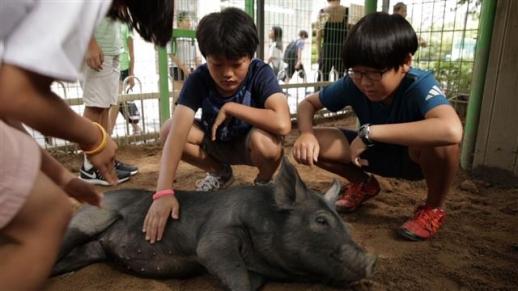 초등학교 교실에서 돼지를 키우며 아이들의 성장을 관찰하는 교육 실험 다큐멘터리 '다큐프라임- 번아웃 키즈'. EBS 제공
