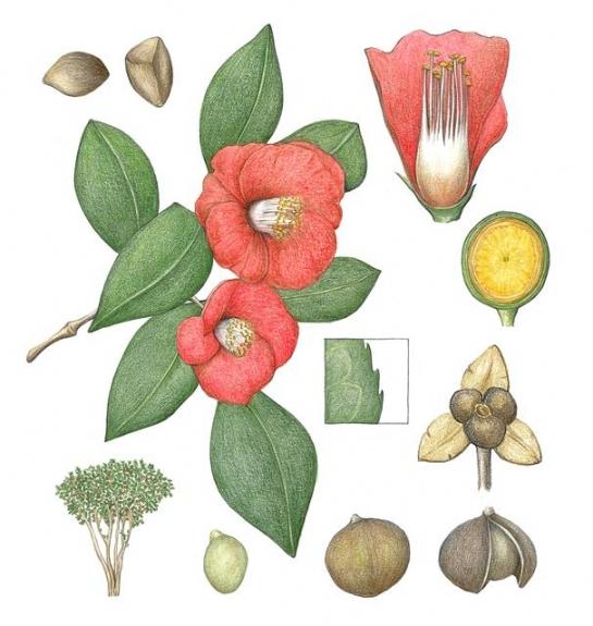 한겨울에 붉고 탐스러운 꽃을 피우는 동백나무. 화려한 외양과 더불어 꽃 속 깊숙이 넣어둔 꿀로 수분을 도와줄 생물을 유인한다.