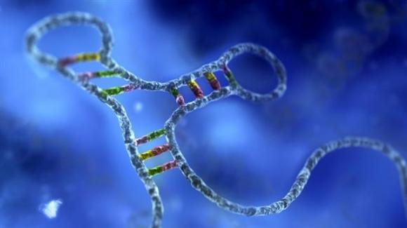 헌팅턴병처럼 유전자 이상으로 나타나는 질병을 치료하고 예방하기 위해 RNA를 자르거나 붙이는 등 RNA 치료제가 임상시험을 마치고 올해 시장에 나올 것인지 주목되고 있다.  사이언스 제공