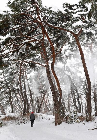 봉곡사로 드는 솔숲이 수묵담채화 같은 설경을 펼쳐내고 있다. 흰 눈이 주변의 온갖 허물을 덮은 덕에 소나무의 자태가 한결 도드라져 보인다.