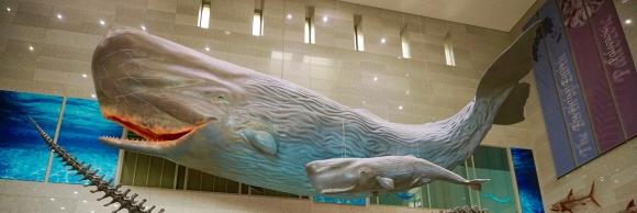서대문자연사박물관 로비의 향유고래 모형.