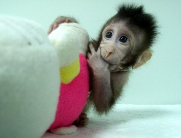 中, 세계 첫 영장류 복제 성공  중국과학원(CAS) 신경과학연구소 연구팀이 국제학술지 '셀' 25일자에 긴꼬리원숭이과에 속하는 마카크원숭이를 복제해 동일한 유전자를 가진 두 마리 새끼를 탄생시키는 데 성공했다고 발표했다. 연구에 활용된 '체세포핵치환'(SCNT) 기술은 1996년 영국 연구진이 복제양 돌리를 만들 때 썼던 것과 같은 방식으로, 영장류에 활용된 것은 처음이다. SCNT는 난자에서 핵을 제거하고 다른 체세포에서 분리한 핵을 넣어 복제 수정란을 만든 뒤 대리모에게 착상시켜 동물을 복제하는 기술이다. 연합뉴스