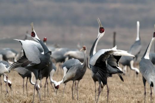 멸종위기 2급 야생생물이자 천연기념물 203호인 재두루미가 날갯짓을 하며 우아함을 뽐내고 있다. 환경부 제공