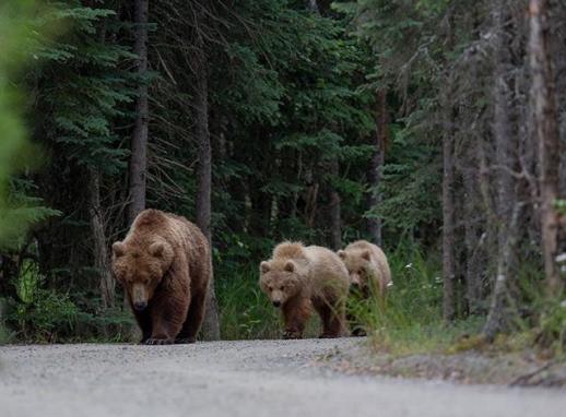 야생에 살고 있던 회색곰들도 도로, 공장, 도시 등 각종 인간들이 만든 시설로 인해 점점 거주지가 좁아지면서 삶의 공간을 잃고 있다. 네이처 제공