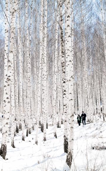 인제 자작나무 숲을 찾은 관광객들이 눈꽃 트레킹을 즐기고 있다.