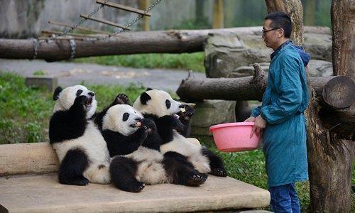 쓰촨성 충칭의 동물원에서 사육사가 판다에게 먹이를 주고 있다. 글로벌타임스
