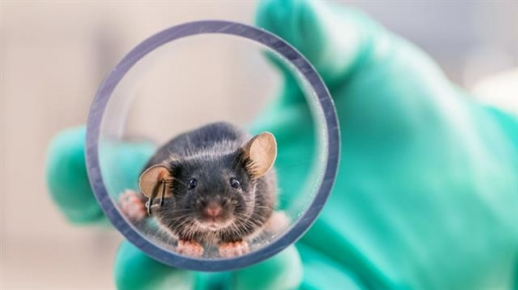 미국 미시간대 연구진이 실험용 생쥐를 튜브를 이용해 다른 실험우리로 옮기고 있다. 일반적으로 실험용 생쥐를 이동시킬 때는 꼬리를 잡고 옮기는데 이 경우 생쥐에게 스트레스 호르몬이 나와 실험 결과에도 영향을 미칠 수 있다. 미국 미시간대 제공