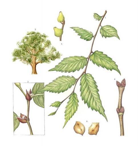 우리나라 보호수 중 가장 많은 수종인 느티나무. 다른 나무들이 베어지는 동안 느티나무는 마을 수호신인 정자목으로서 수백년간 꿋꿋이 살아남았다.