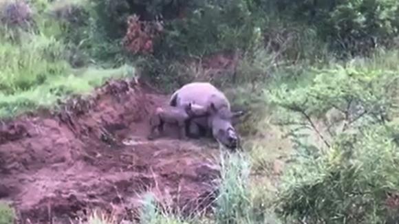 뿔 뽑혀 죽은 엄마 곁 맴도는 아기 코뿔소(Rhino 911 페이스북 캡처)