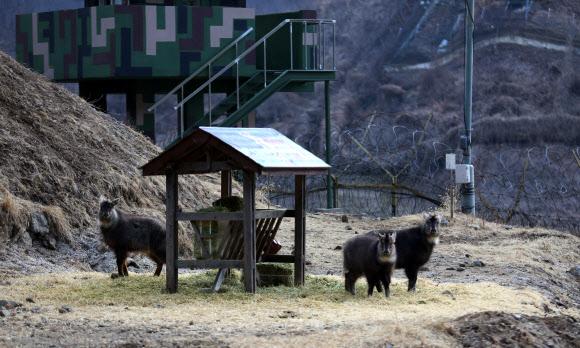 GOP 철책에 봄나들이 나온 산양 가족