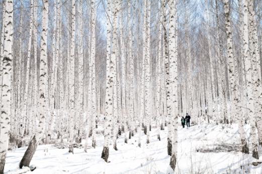 인제 원대리 자작나무숲
