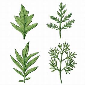우리나라에는 24종의 쑥이 자생하는데, 이들의 잎 형태는 모두 다르다. 왼쪽부터 시계방향으로 쑥, 개똥쑥, 사철쑥, 참쑥.