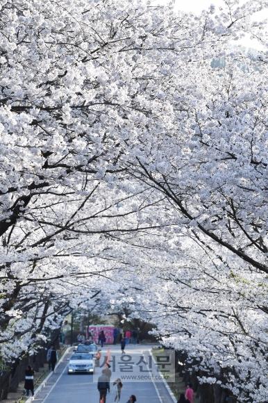 경기 용인시 처인구 호암미술관 앞길에 벚꽃이 만개해 있다.