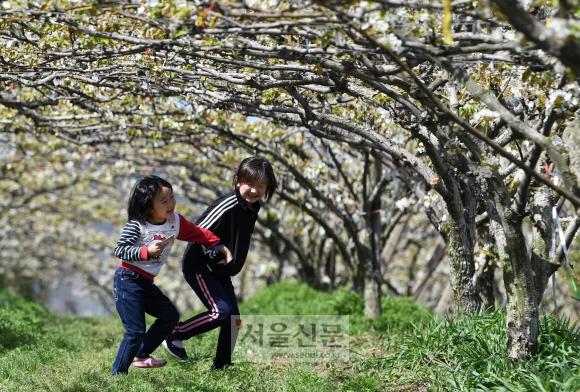 배꽃이 만개한 전남 나주시 다시면 배 농원에서 어린이들이 즐겁게 뛰어놀고 있다.