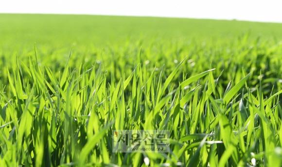 전북 고창군 공음면 예전리 청보리밭에 청보리가 바람에 살랑대고 있다.