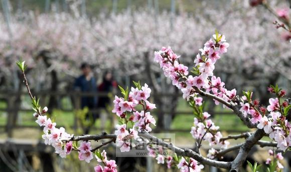 사진 찍기 좋은 장소로 알려진 경북 경산시 남산면 반곡지에 복사꽃이 만개해 있다.