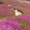 군포시, 진분홍색 꽃물결 '군포철쭉축제' 오는 27일 팡파르