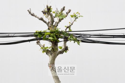 녹음이 한창 푸를 계절이지만 서울 강남의 한 대로에서 가지가 잘려 볼품없이 초라해진 가로수가 수많은 케이블까지 짊어지고 있다. 인간들도 도시에서는 삶이 궁핍하고 정서가 메마르지만 나무들 역시 도시에서 산다는 건 쉽지만은 않은 듯하다. 도준석 기자 pado@seoul.co.kr