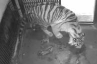 [영상] 서울대공원, 순수혈통 백두산 호랑이 4마리 탄생해
