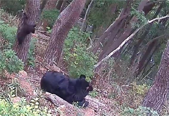인공수정으로 태어난 반달가슴곰 새끼 환경부 국립공원관리공단 제공