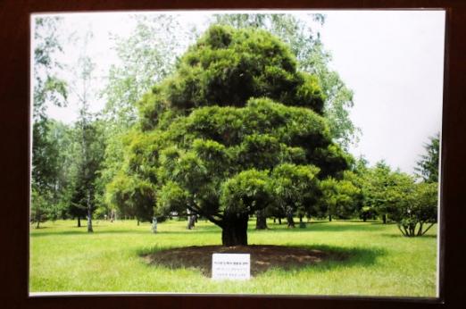 노무현 전 대통령이 심은 소나무 사진