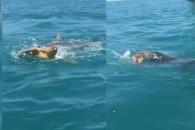 '한 입 거리' 바다 거북이 사냥하는 뱀상어