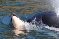죽은 새끼와 17일 동안 1600㎞ 헤엄치던 범고래 새끼와 작별