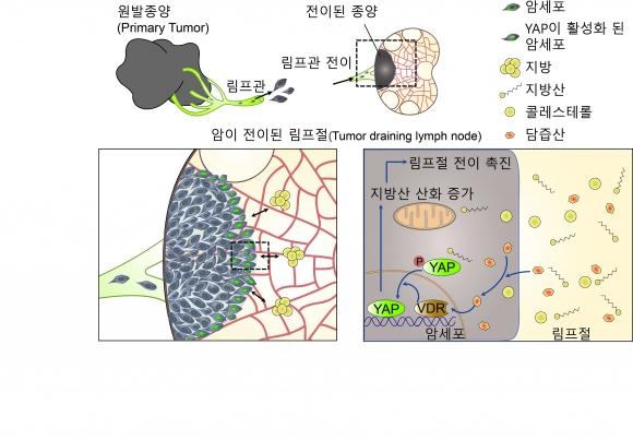 암세포의 림프절 전이 과정 모식도 IBS 제공
