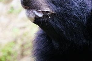 """""""곰이다"""" 주택가·쇼핑센터까지 급습하는 일본 야생곰"""