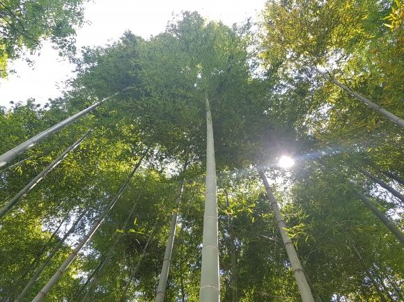 대나무숲 1㏊(6200그루)의 이산화탄소 흡수량이 연간 33.5t으로 소나무(9.7t)의 3.5배에 달하는 것으로 분석됐다. 국립산림과학원 제공