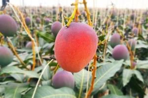 애플망고 키울 줄이야… 재배농가 점점 북상 중