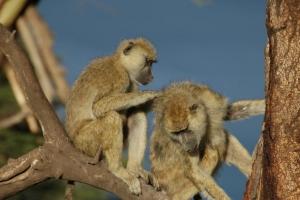 개코원숭이도 '친한 암컷' 있는 수컷이 더 오래 살아