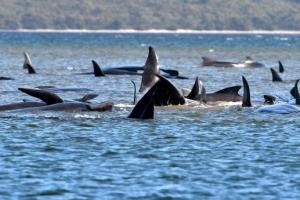 270마리의 고래 호주 태즈매니아 해변에 갇혀 구조 작업 진행