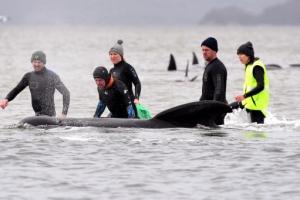 호주 '고래 참극' 계속, 200마리 주검 발견돼 갇힌 고래 470마리…