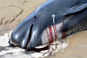 '모래톱에 갇혀'… 호주 해안 고래 떼죽음