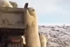 """""""먹을 게 없어서 그만..."""" 쓰레기 트럭에 먹이 구걸하는 북극곰"""